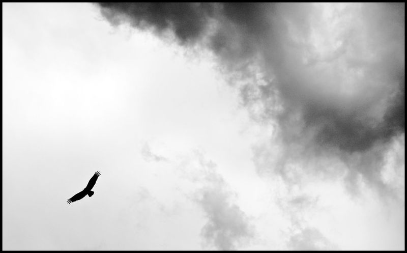 Vulture-over-Kentucky-Camp-