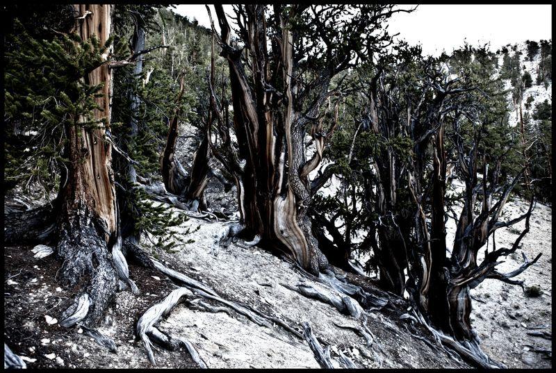 Methuselah-Grove-#1
