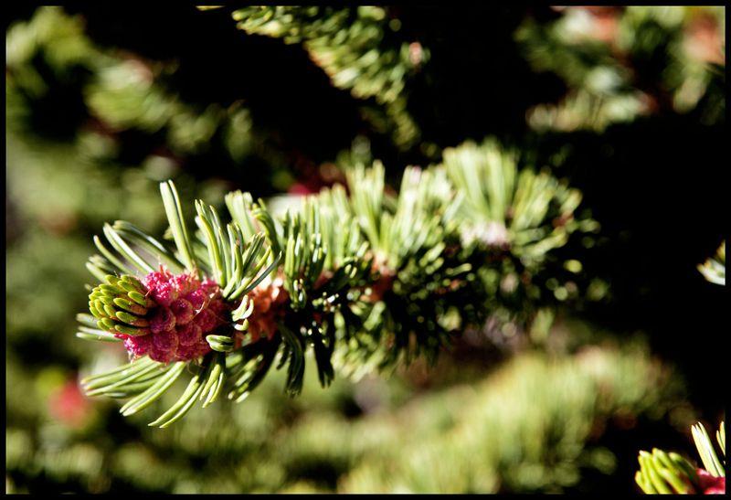 Bristlecone-Flower-#1