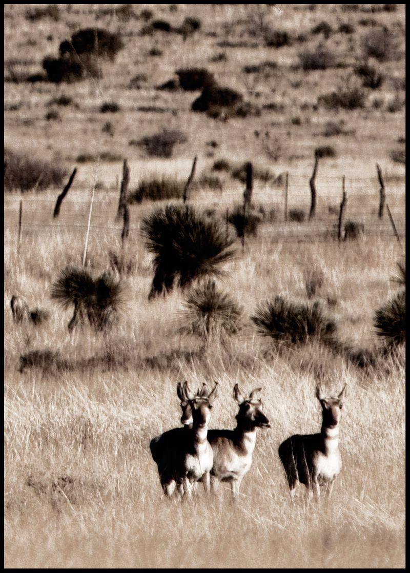 Antelopes-[Detail]-#3