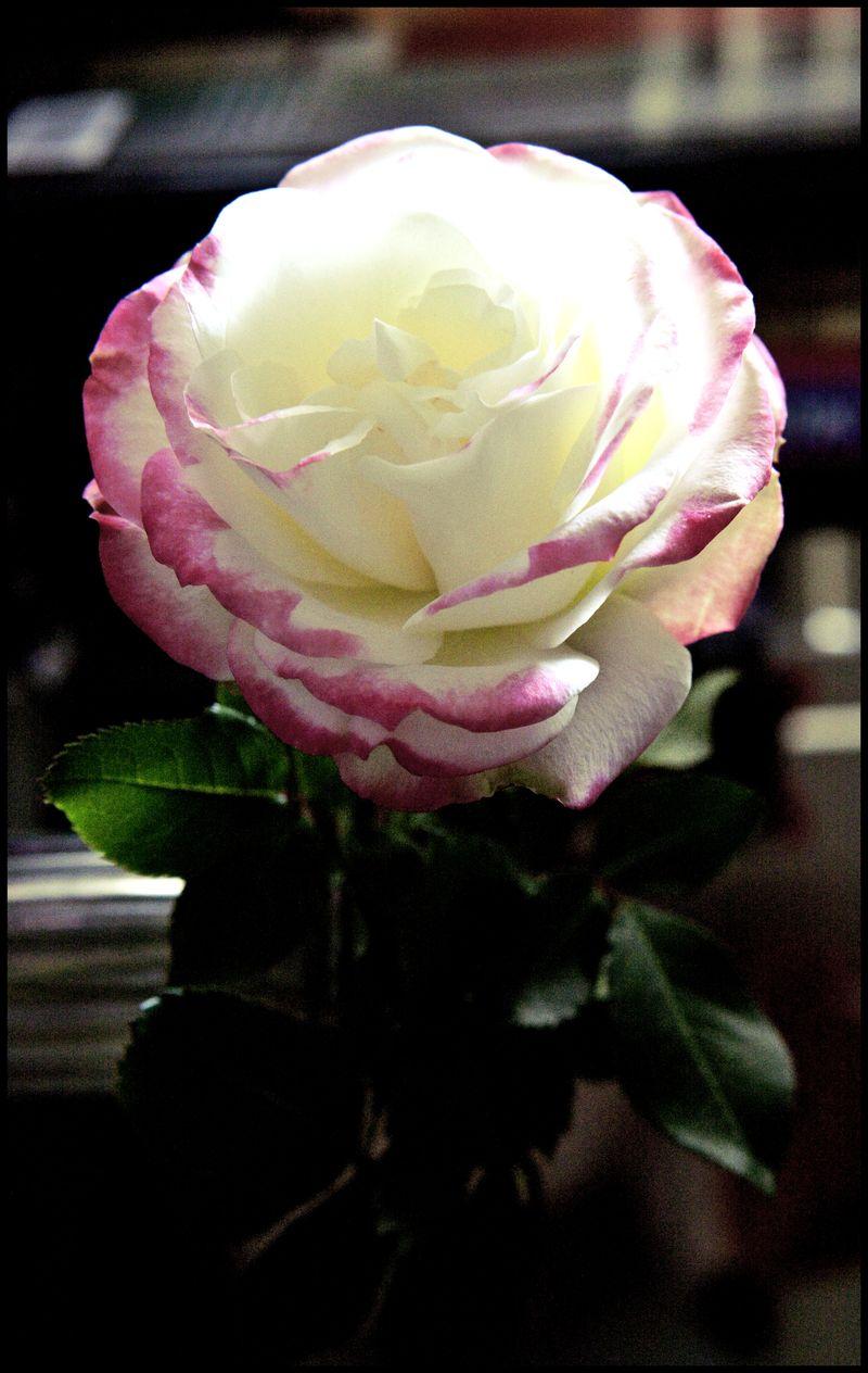 Wild-Irish-Rose-#1