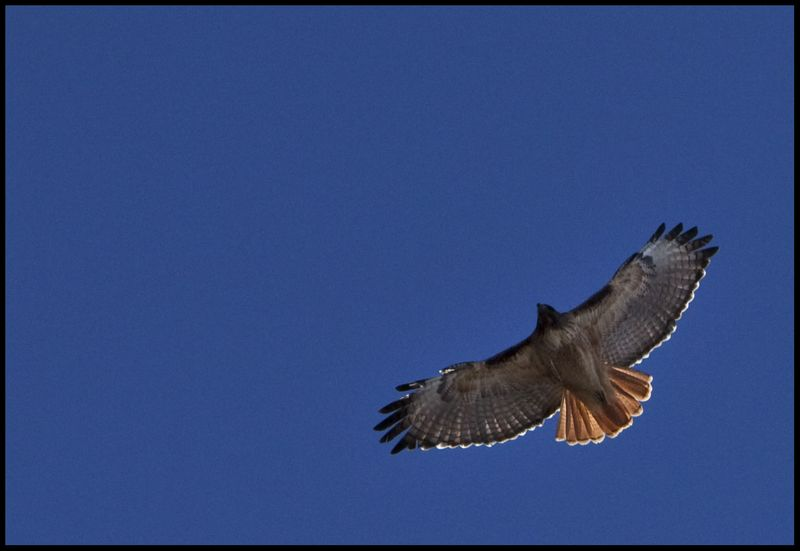 Red-Tailed-Over-Veritas-#1