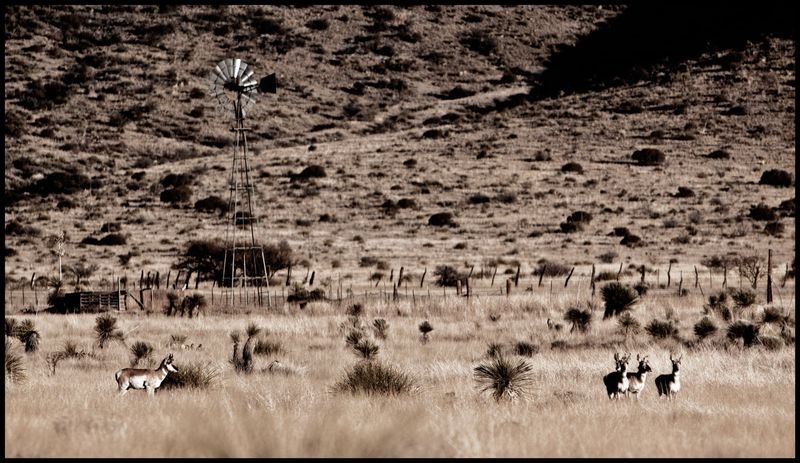 Antelopes-in-The-Mustangs-#2