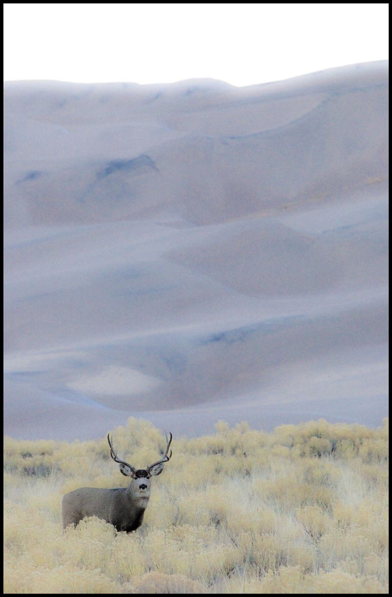 Buck-at-Great-Sand-Dunes-#1