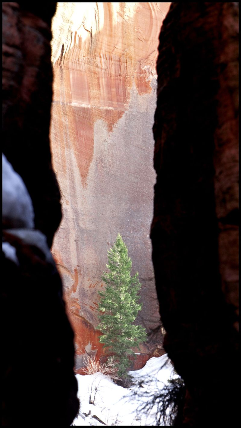 Zion-Snow-Pine-#2