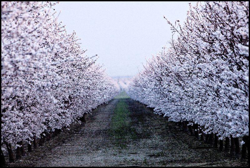 Cherry-Blossoms-#1