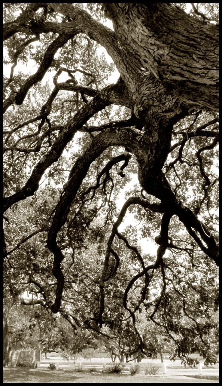 LBJ-Ranch-Tree-#1