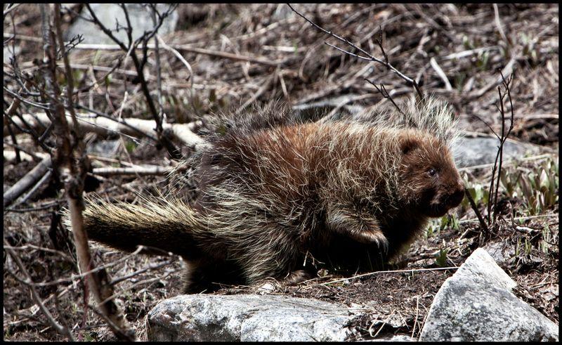 Old-Lady-Marmot-#2