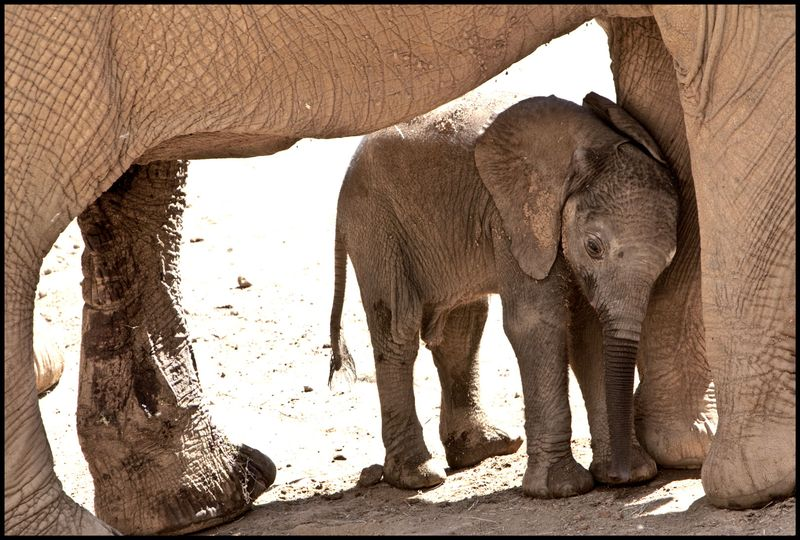 Two-Week-Old-Elephant-#1