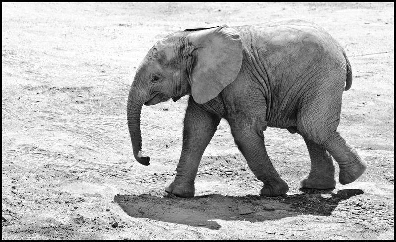 Baby-Elephant-Walk-#1