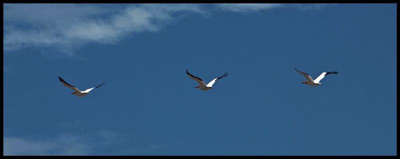 Three-Pelicans-at-SJ-#2