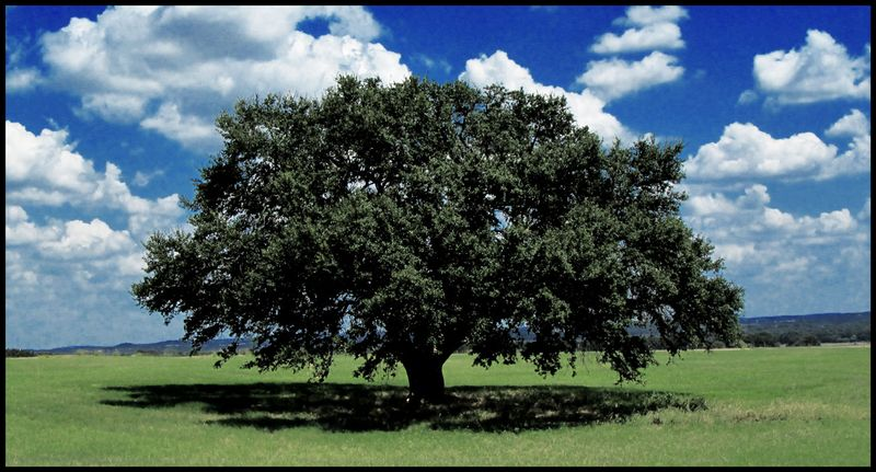 LBJ-Texas-Oak-#1
