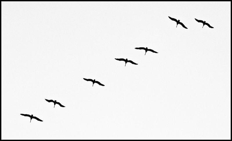 Seven-Pelicans-#2