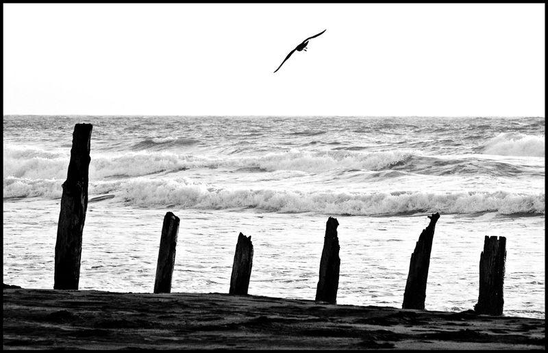 Thornton-Gull-#2