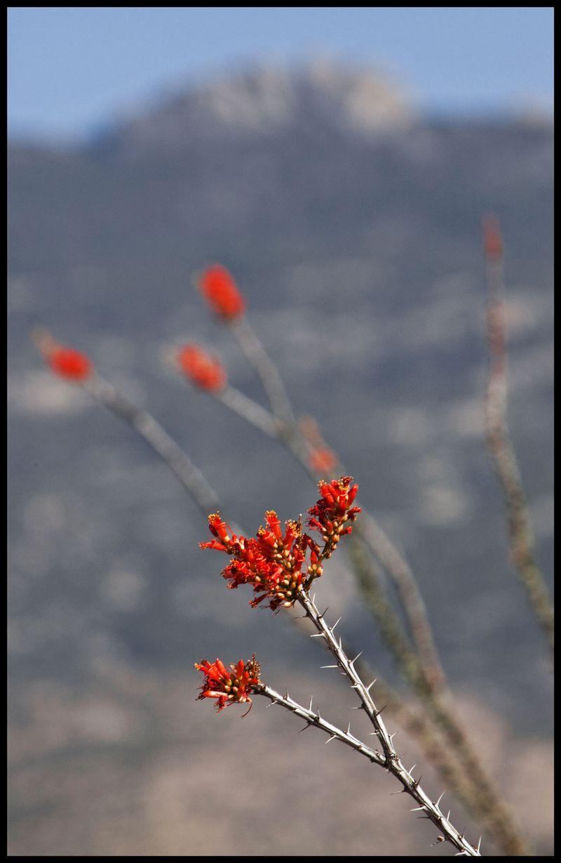 Rincon-Ocotillos-#1 [For Mary]