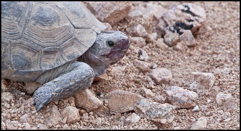 Desert-Tortoise-#2