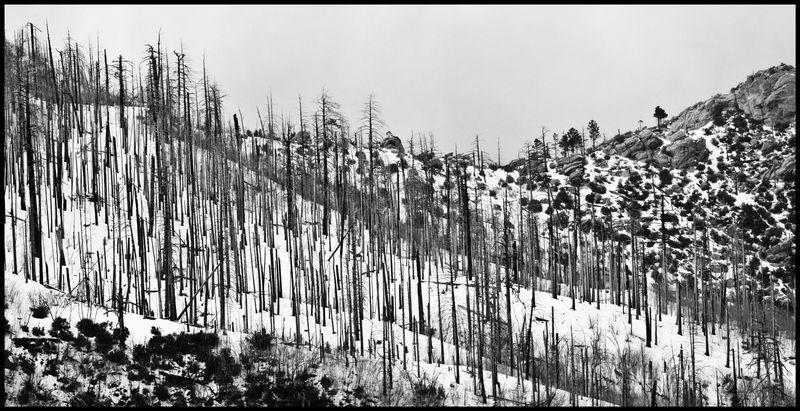 Snow-Dead-Trees-#2