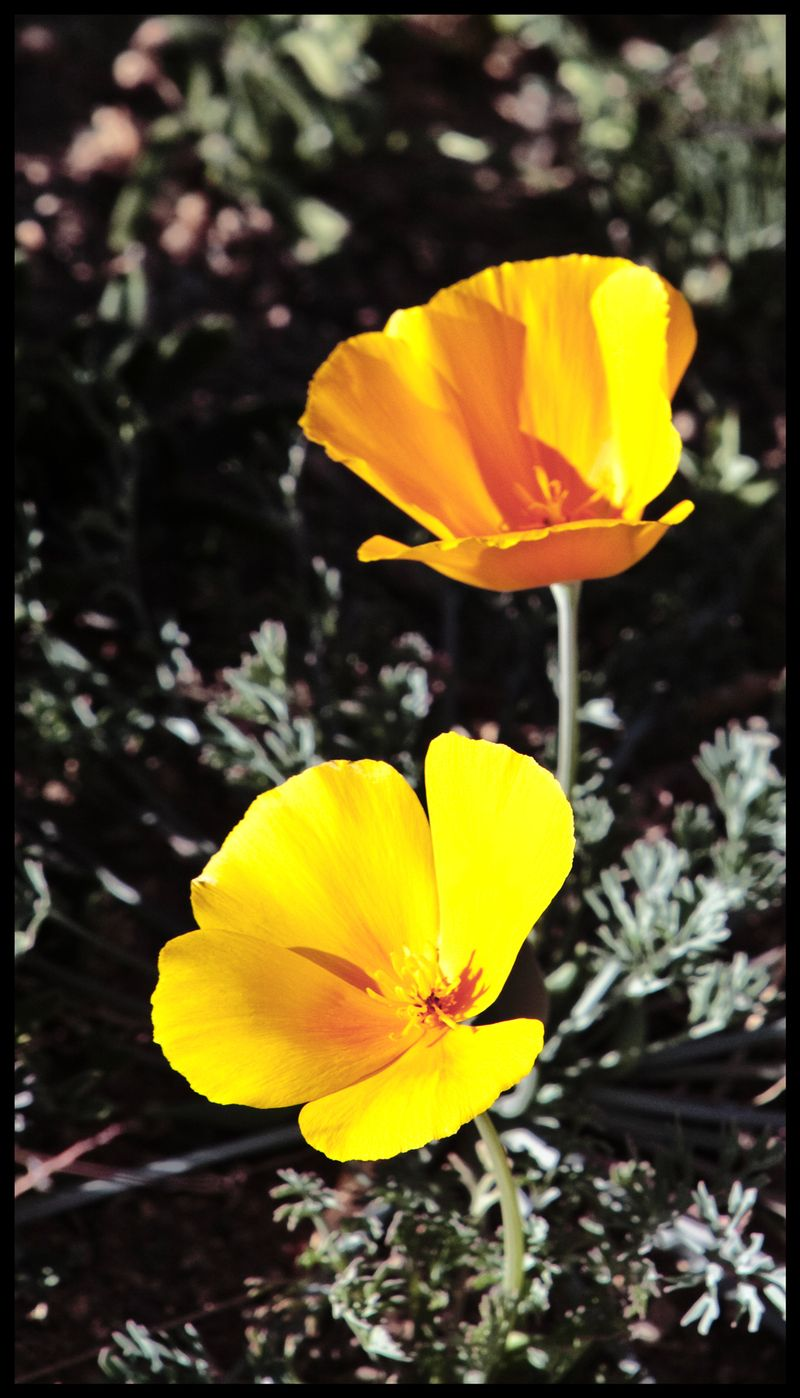 Desert-Poppies-#2