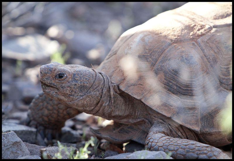 Owl's-Head-Tortoise-#2