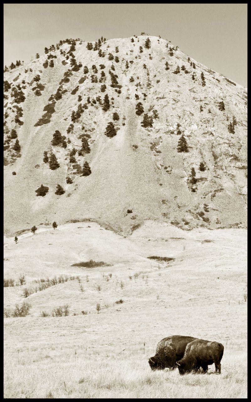Bear-Butte-Buffalo-#2