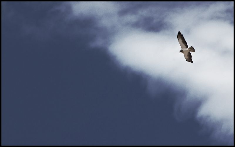 Swainson's-Hawk-Apache-#2