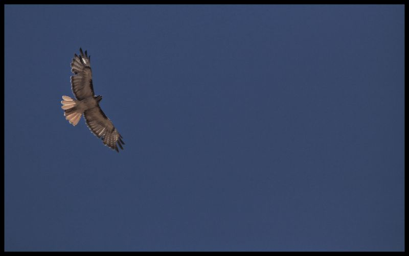 Red-Tailed-Hawk-Sonoita-#6