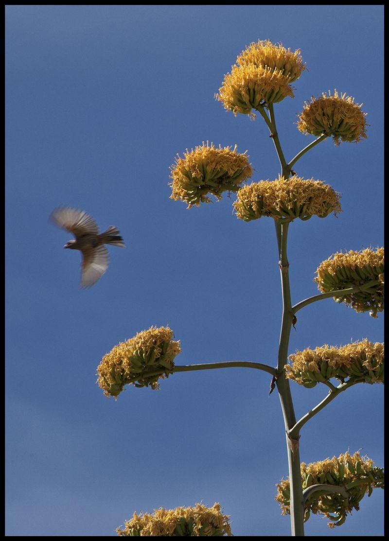 Agave-Songbird-#3