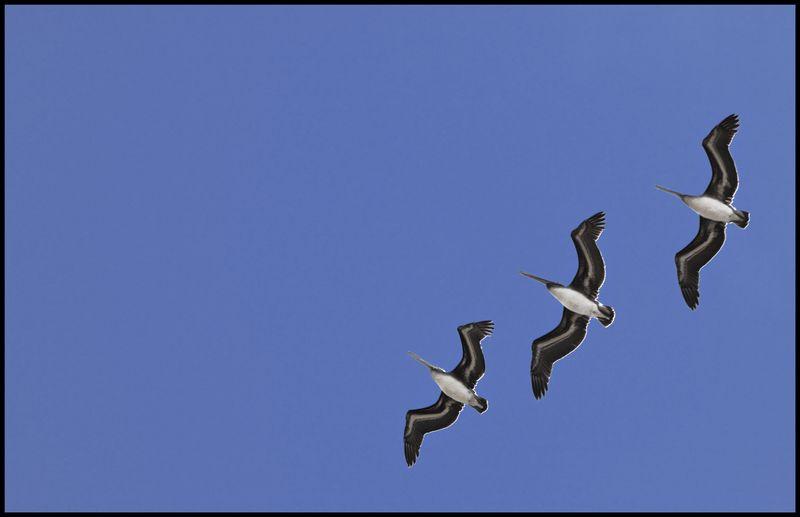 Thornton-Beach-Pelicans-#2