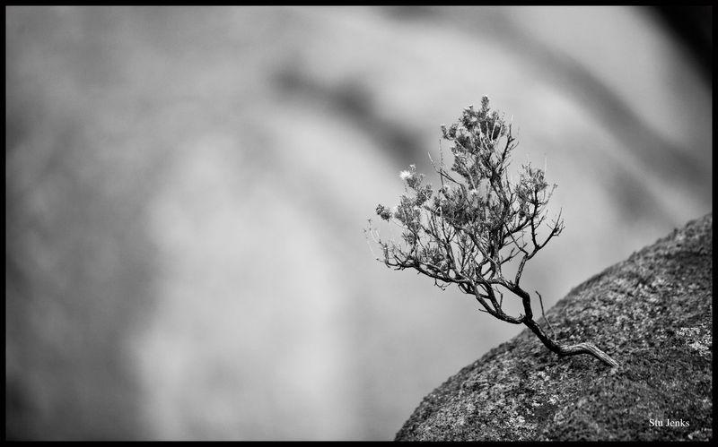 Dragoon-Tree-#1