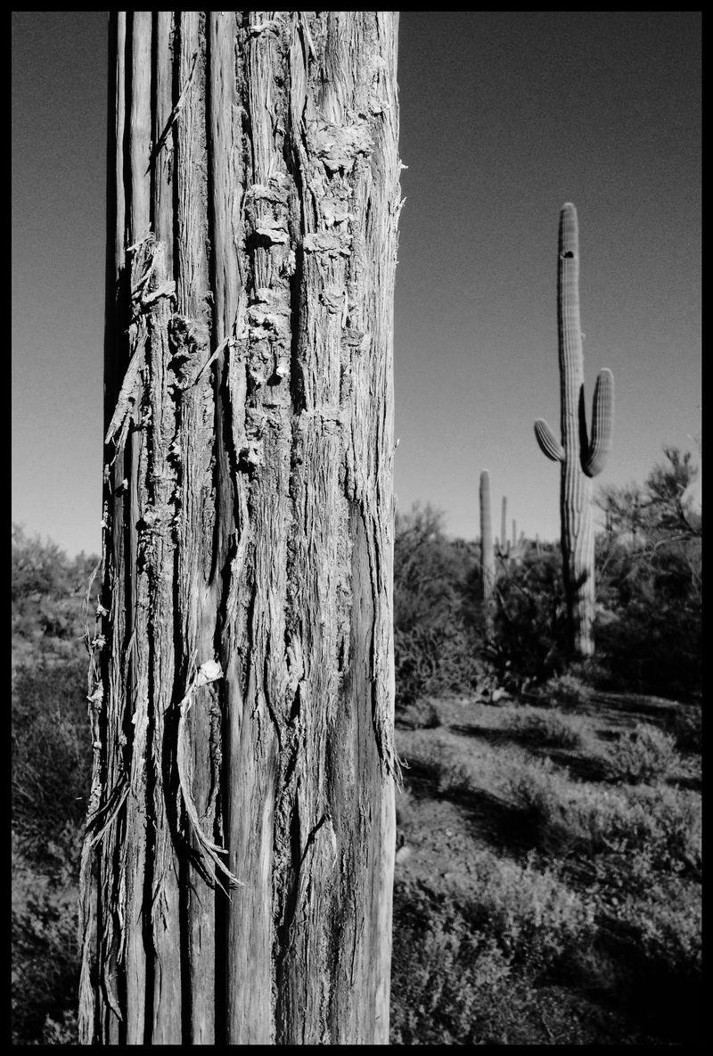 Dead-Saguaro-Owl's-Head-#2