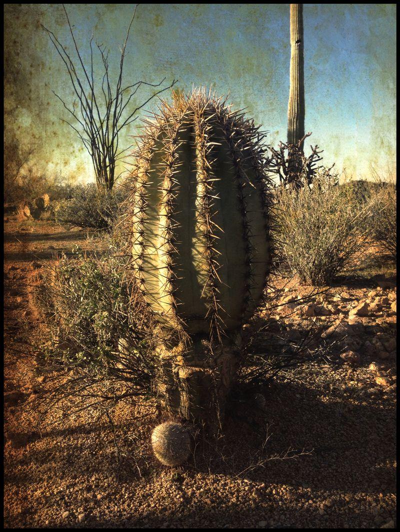 Baby-Saguaro-Christmas-Eve-#1