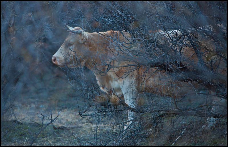 Cattle-Ruby-Arizona-#1