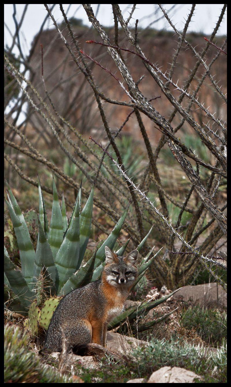 Gray-Fox-Cathy's-Fault-Sitting-#1