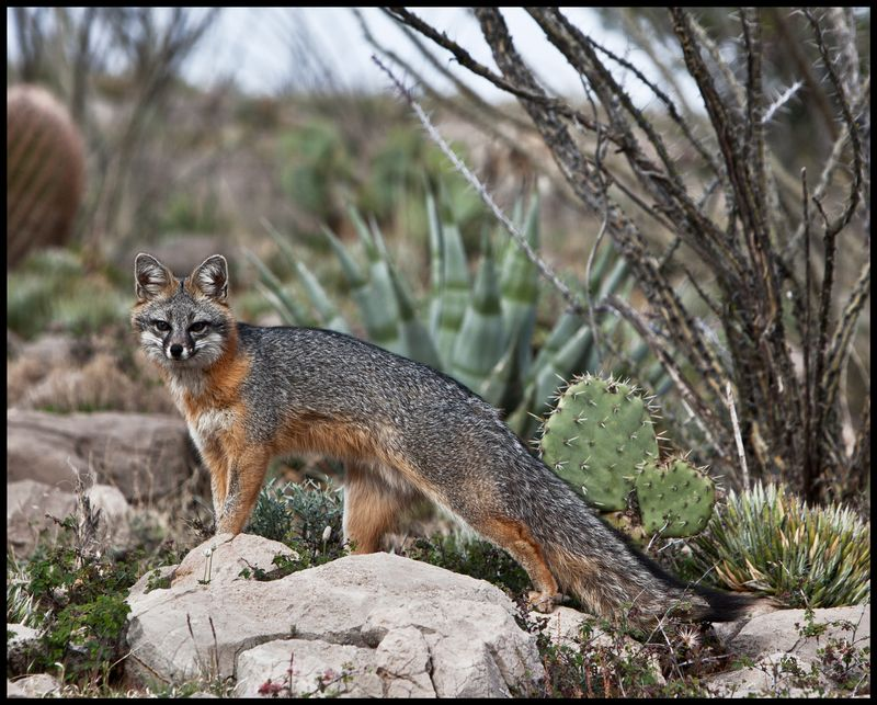 Kit-Fox-Cathy's-Fault-#1
