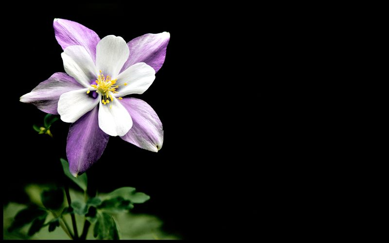 Purple-Columbine-#16