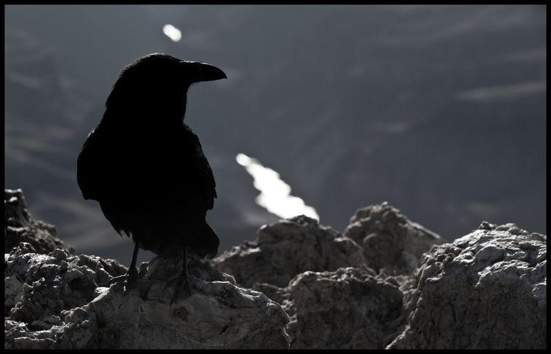 Raven-Grand-Canyon-#16