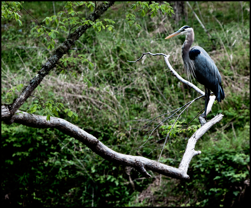 Eno-River-Blue-Heron-#17