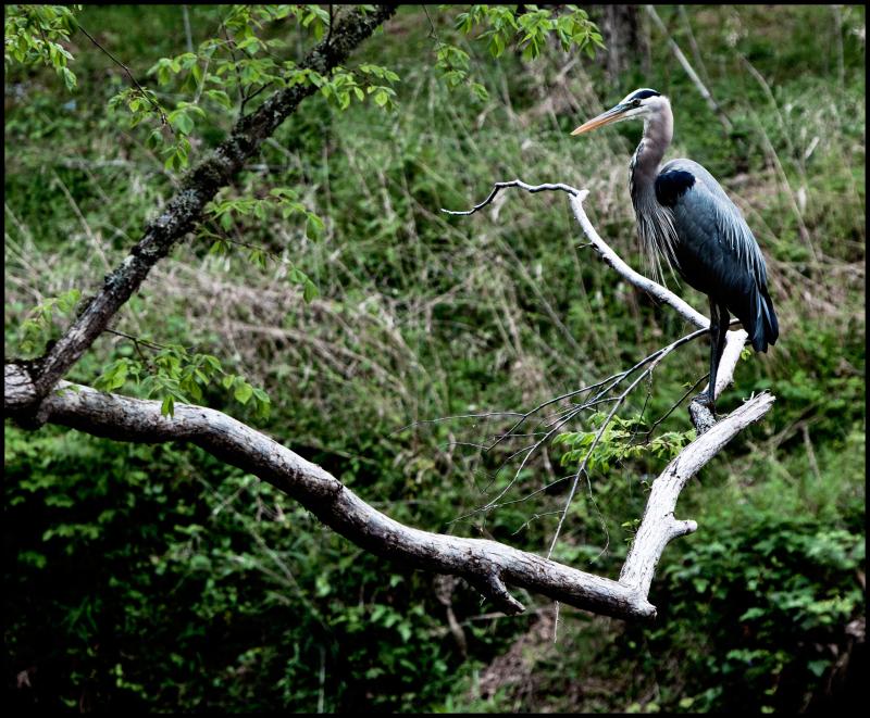 Eno-River-Blue-Heron-#17