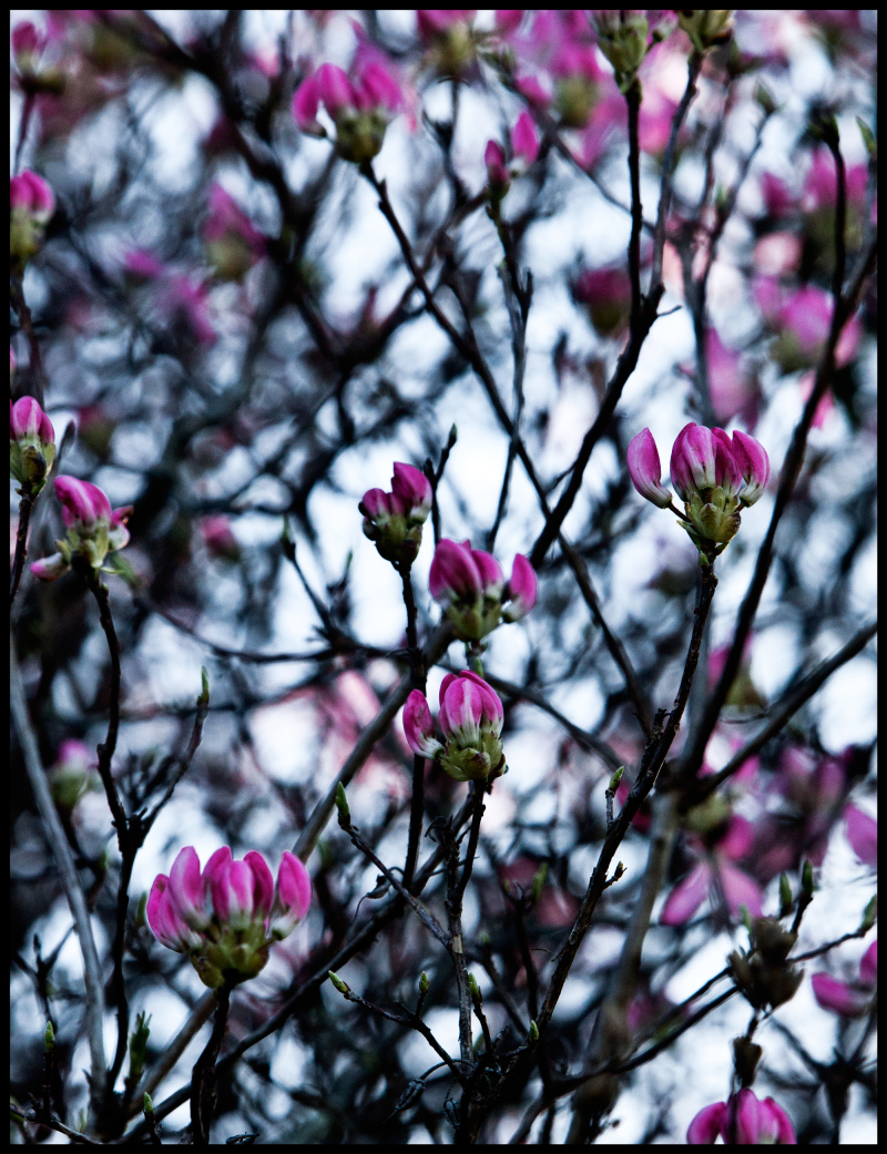 Pink-Dogwood-Going-To-Sleep-#17