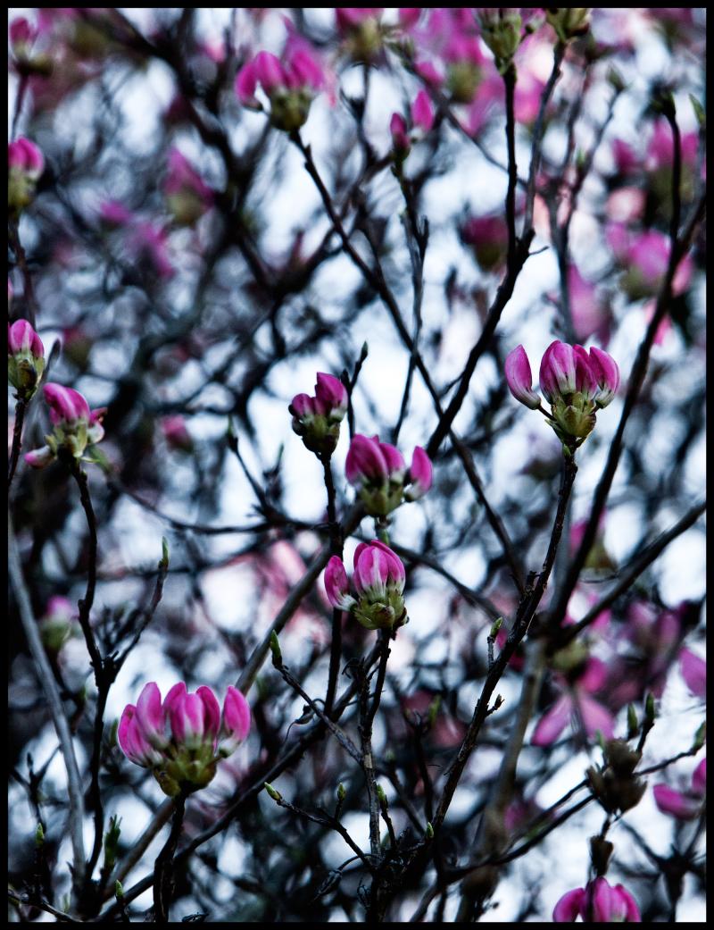 Pink-Dogwood-Going-To-Sleep-#17