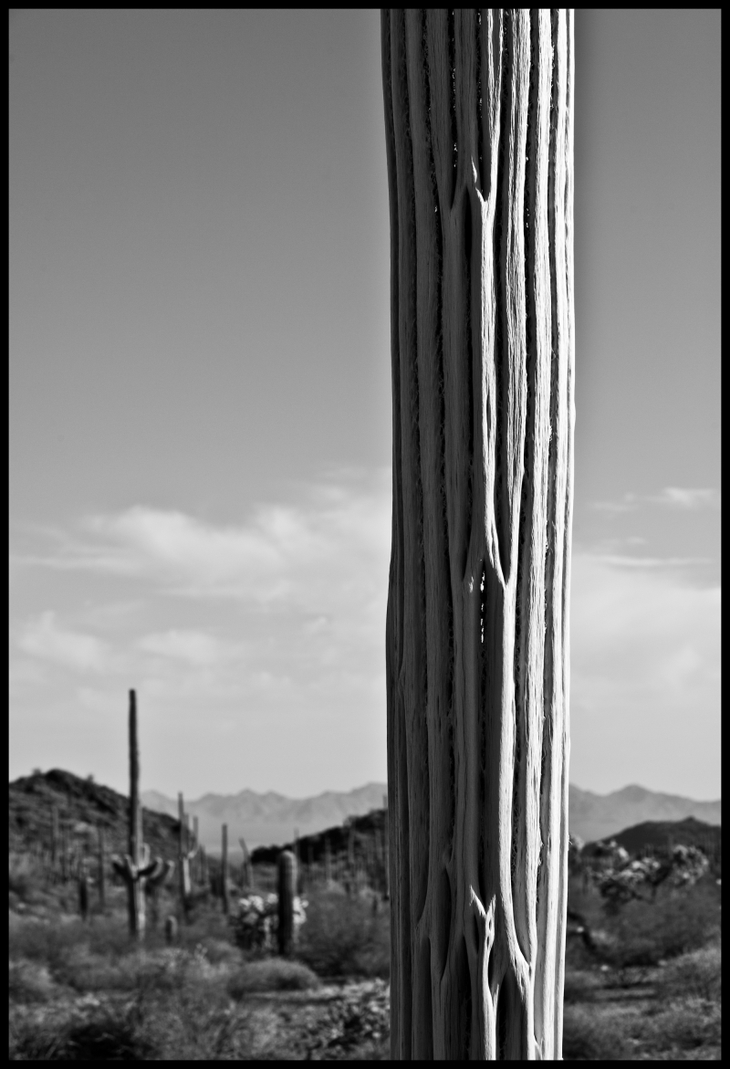 Organ-Pipe-Dead-Saguaro-#4