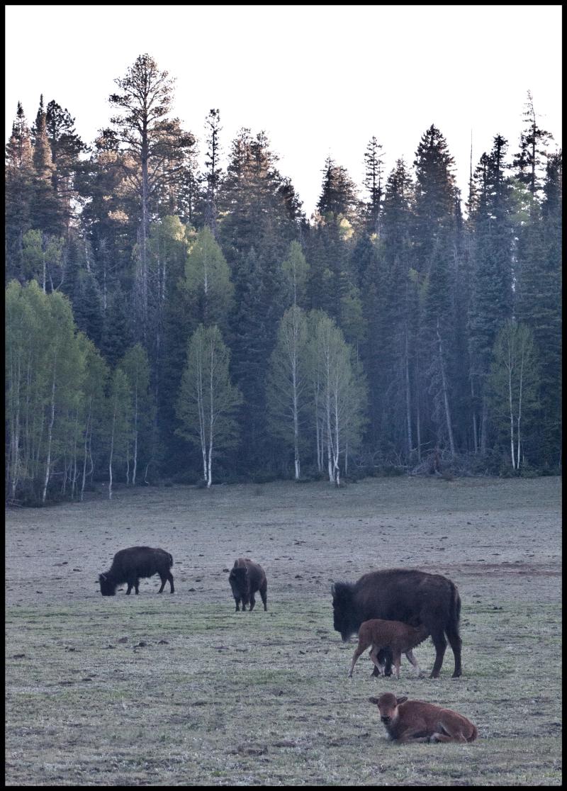 Two-Baby-Buffalo-#18