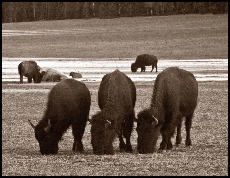 Three-Buffalo-#18