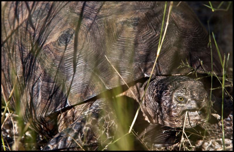 Desert-Tortoise-Kitt-Peak-#19