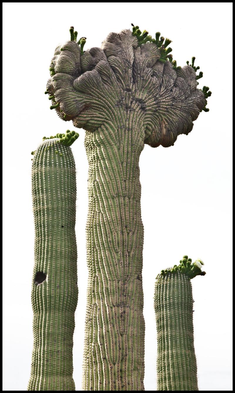 Crested-Saguaro-#19