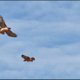 Red-Tailed-Hawks-Courting-#19