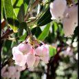 Manzanita-Flowers-#20