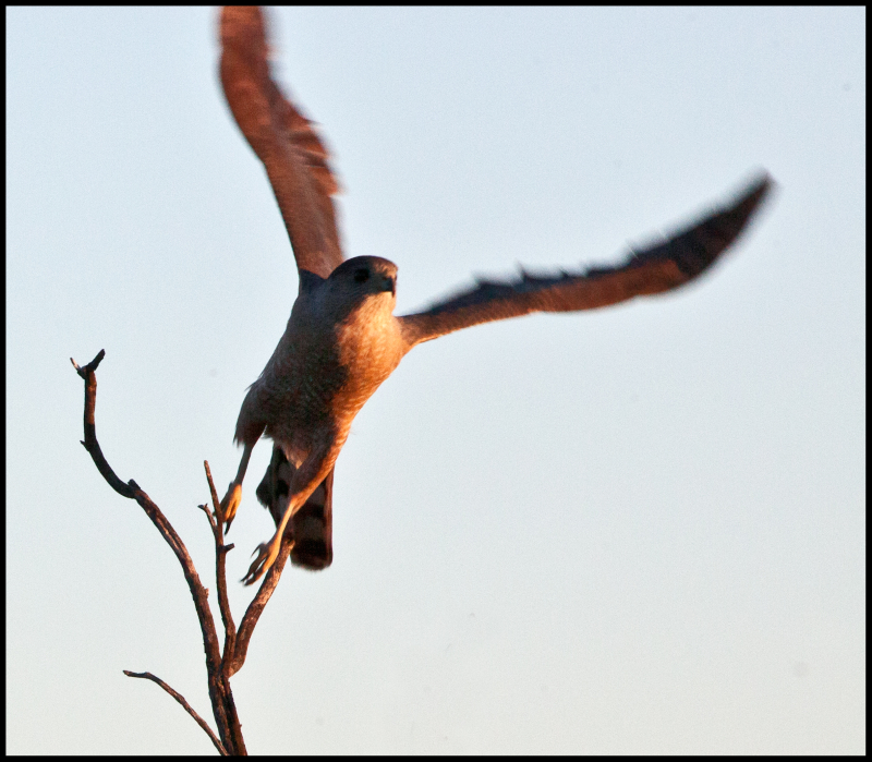 Kestral-In-Flight-#20