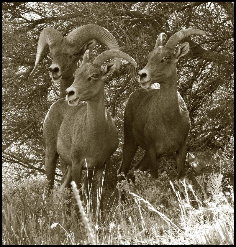 Bighorn-Ram-One-#20