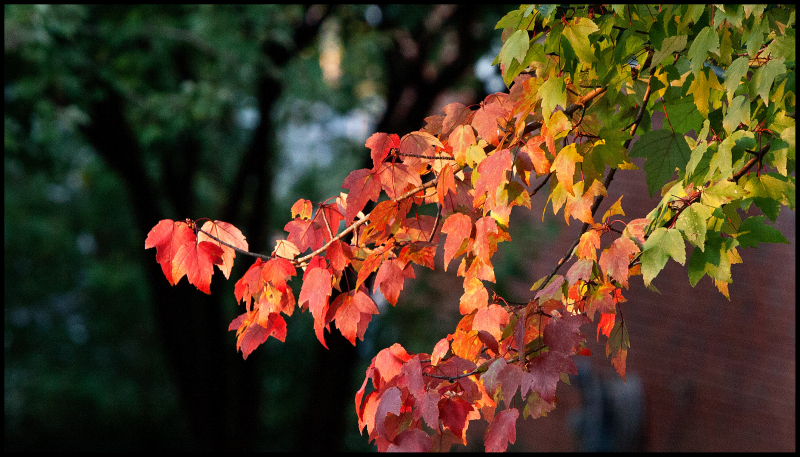 Prism-Red-Maple-#20